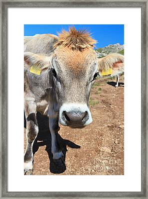 Cow On Alpine Pasture Framed Print by Antonio Scarpi