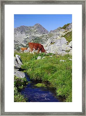 Cow On Alpine Pasture  Framed Print by Ioan Panaite