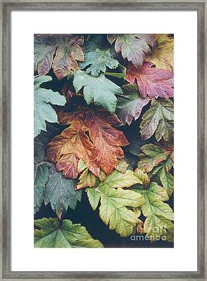 Cow Parsnip Leaves In The Fall Framed Print by Bruce M Herman