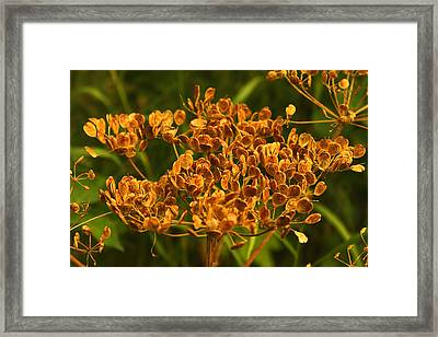 Framed Print featuring the photograph Cow Parsnip Seeds by Sandra Foster