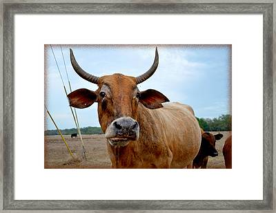 Framed Print featuring the photograph Cow Photo 1 by Amanda Vouglas