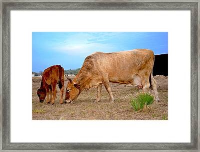 Framed Print featuring the photograph Cow Photo 2 by Amanda Vouglas