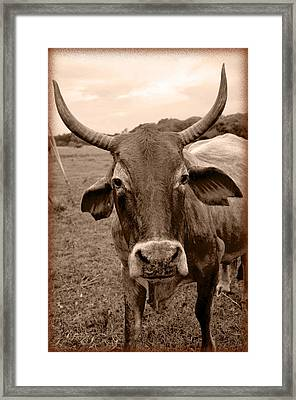 Framed Print featuring the photograph Cow Photo 5 by Amanda Vouglas
