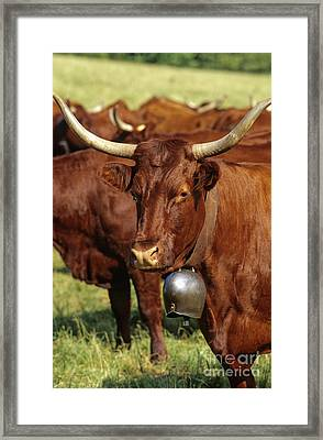 Cow Salers Framed Print by Bernard Jaubert