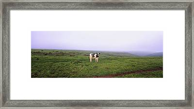 Cow Standing In A Field, Point Reyes Framed Print