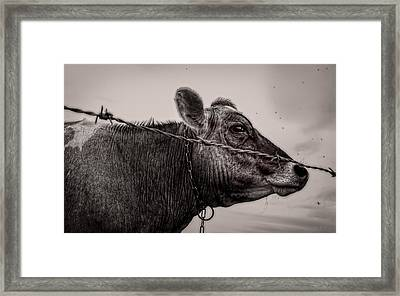 Cow With Flies Framed Print by Bob Orsillo