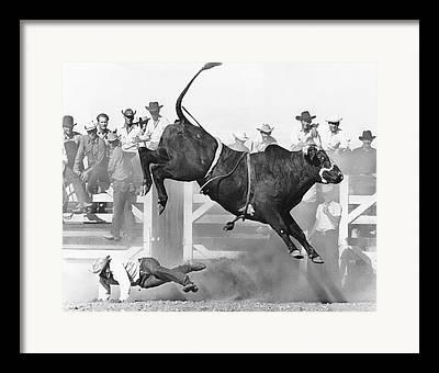Brahma Bull Framed Prints