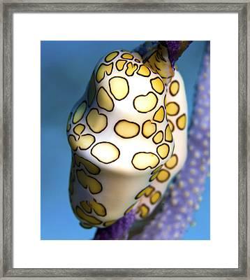 Cowrie Framed Print by Paula Marie deBaleau