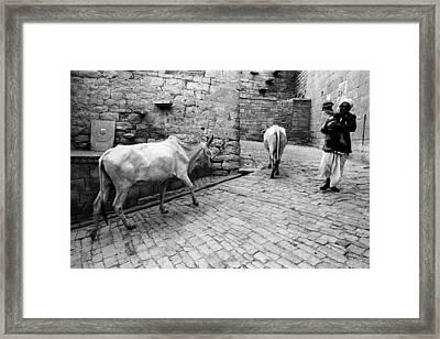 Cows And Man Framed Print by Jagdish Agarwal