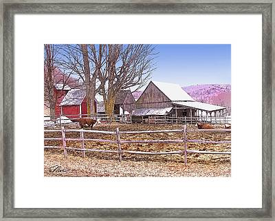 Cows At Jenne Farm Framed Print by Nancy Griswold