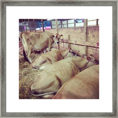 Cows At The Fair Framed Print by Christy Beckwith