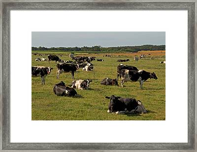 Cows At Work 1 Framed Print