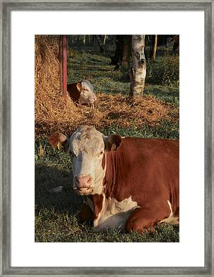 Cows At Work 2 Framed Print