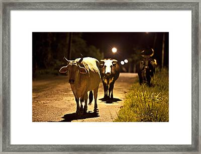 Cows Coming Home Framed Print by Sarita Rampersad