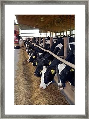 Cows Feeding Framed Print