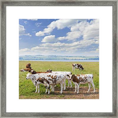 Cows In Pasture Framed Print by Elena Elisseeva