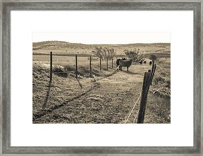 Cows In The Lane Framed Print by Dawn Romine