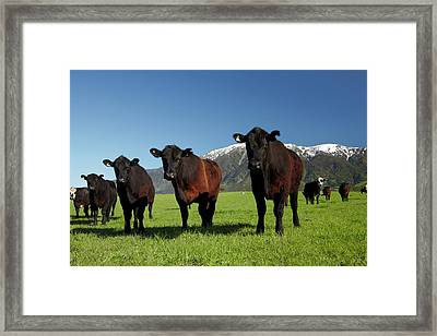 Cows Near Kaikoura, And Seaward Framed Print