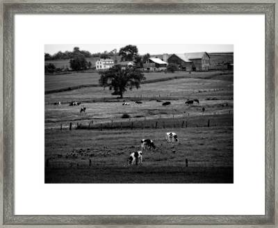 Cows On The Amish Farm Framed Print