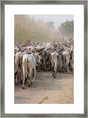 Cows On The Road, Delhi, India Framed Print by Keren Su