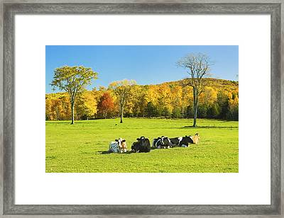 Cows Resting On Grass In Farm Field Autumn Maine Photograph Framed Print