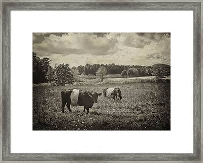 Cows Rockport Maine Framed Print