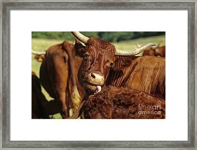 Cows Salers Framed Print by Bernard Jaubert