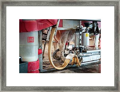 Cow's Udder In Milking Machine Framed Print