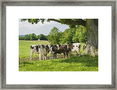 Cows Under Tree In Farm Field Summer Maine Photograph Framed Print