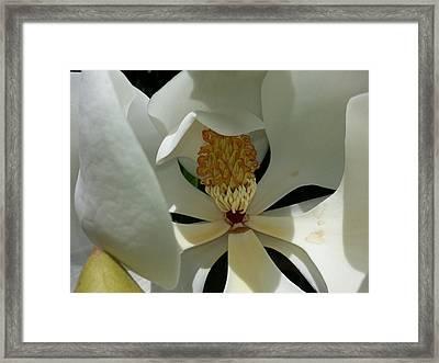 Coy Magnolia Framed Print