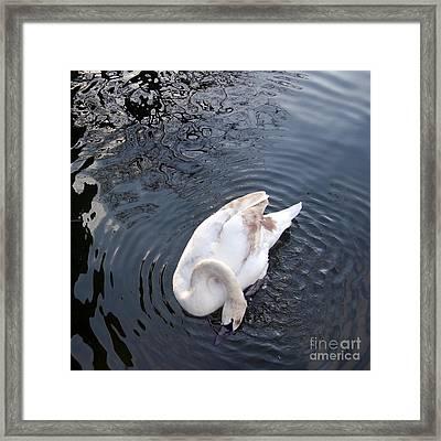 Coy Swan Framed Print by Linda Prewer