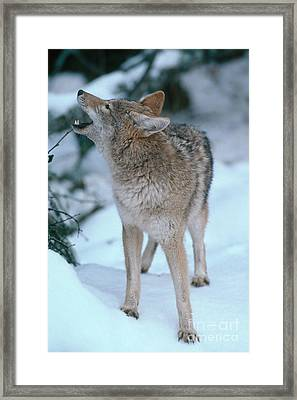 Coyote Framed Print by Art Wolfe