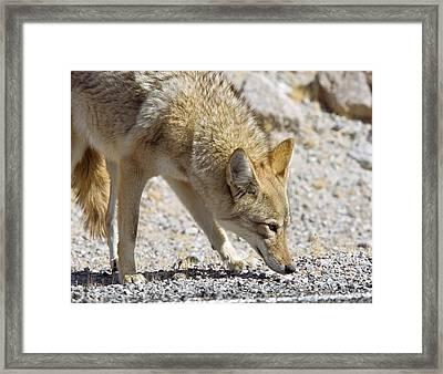 Coyote At A Roadside Framed Print