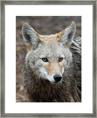 Coyote Framed Print by Athena Mckinzie