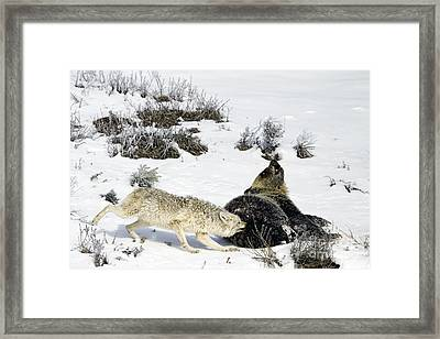 Framed Print featuring the photograph Coyote Biting A Grizzly by J L Woody Wooden