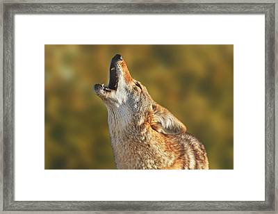 Coyote  Framed Print by Brian Cross