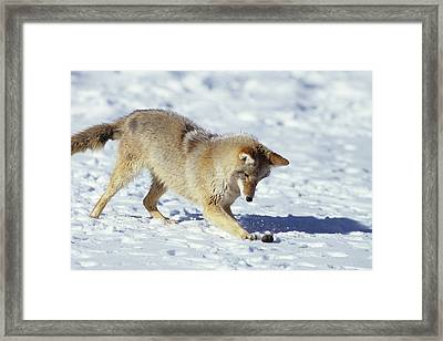 Coyote (canis Latrans Framed Print