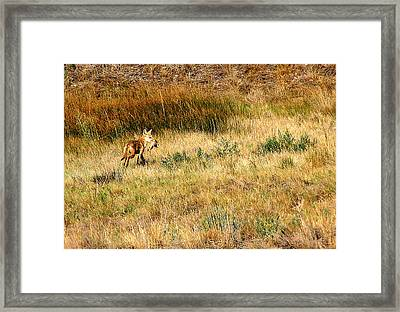 Coyote Catch Framed Print by Rebecca Adams