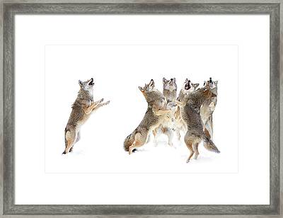 Coyote Choir Framed Print by Jim Cumming
