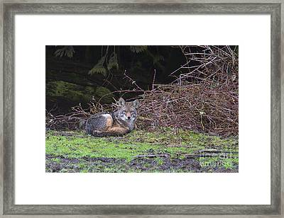 Coyote Curled Up Framed Print by Sharon Talson