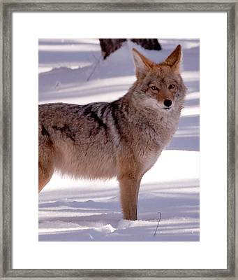 Coyote Grand Canyon National Park Framed Print by Troy Montemayor