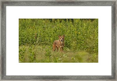 Coyote Happy Framed Print