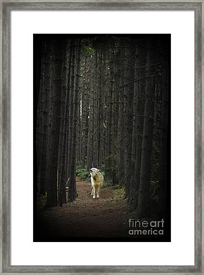 Coyote Howling In Woods Framed Print by Dan Friend