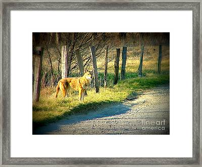 Coyote In Cades Cove Framed Print