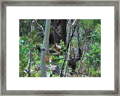 Coyote In Estes Park Framed Print
