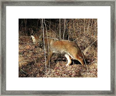 Coyote In The Cove Framed Print by Douglas Stucky