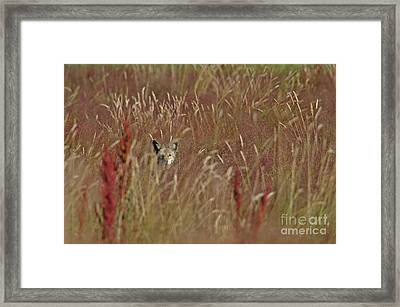 Coyote In The Grass Framed Print by Sharon Talson