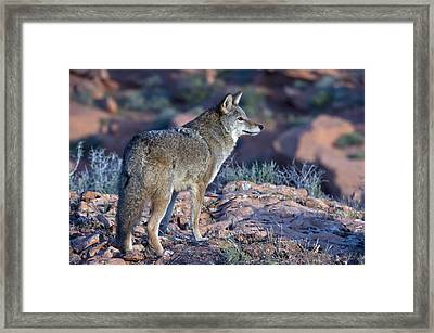 Coyote In The Southwest Us Framed Print by Kathleen Reeder Wildlife Photography