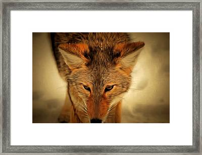Coyote Framed Print by Levi Saunders