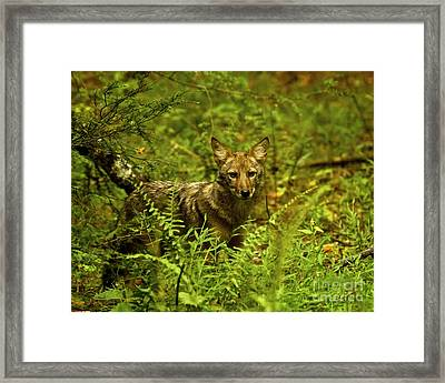 Coyote Of The Woods Framed Print by Timothy Flanigan